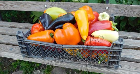Урожай перцев из семян Хозяйства Салминых