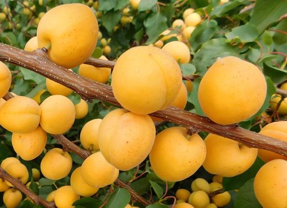 Урожай абрикосов в Хозяйстве Салминых