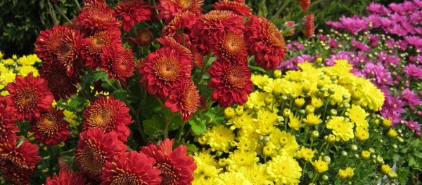 Хризантемы из Хозяйства Салминых