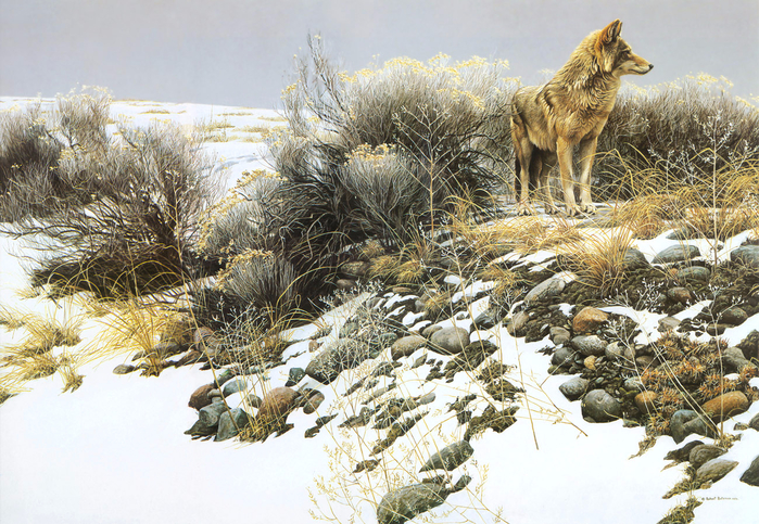 1310901529_coyote-in-winter-sage-1979_www.nevsepic.com.ua (700x483, 569Kb)