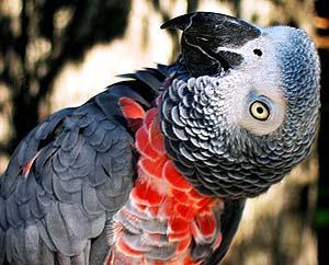 Parrot - Благородные попугаи.
