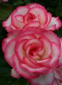 Роза Николь флорибунда (саж. ЗКС) каперс