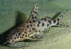 AQUAFISH Сом Синодонтис (Synodontis) 3-4см
