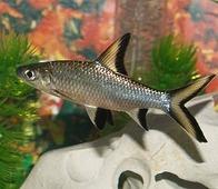 AQUAFISH Акулий Барбус (Balantiocheilos melanopterus)