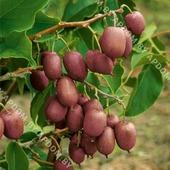Актинидия остролистная Пурпурова Садова (горшок Р9 - почтовый)