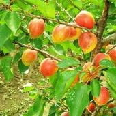 Абрикос Обыкновенный Академик - Деревья лиственные