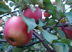 Яблоня Апорт кроваво-красный - Деревья лиственные