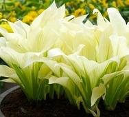 Хоста гибридная White Feather - Цветы многолетние