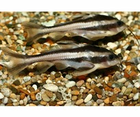 AQUAFISH Сом Платидорас (Platydoras armatulus) 3-4см