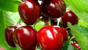 Вишнево-черешневый гибрид (Дюк) Чудо-вишня - Деревья лиственные