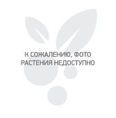 Калина обыкновенная Pohjan Neito - Ягодные