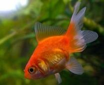 AQUAFISH Золотая рыбка (Carassius auratus) 2,5-3,5см