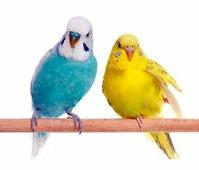 HOME PET Волнистый попугай